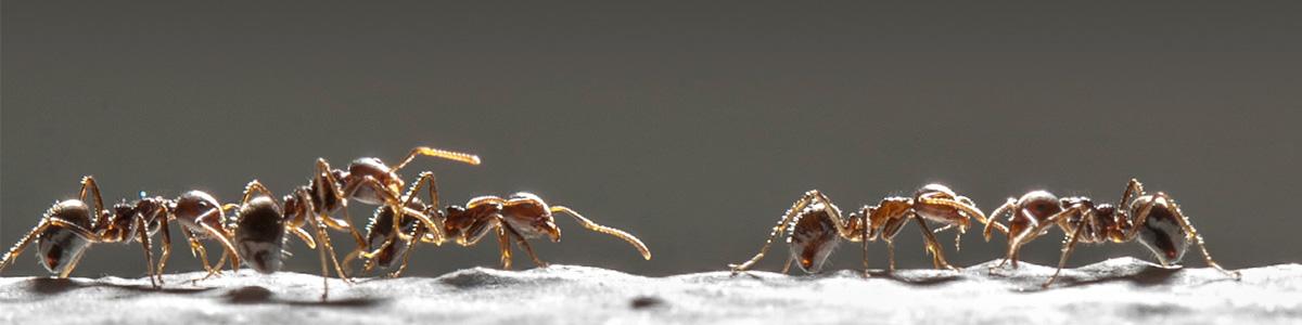 ant-gippsland-pest-control