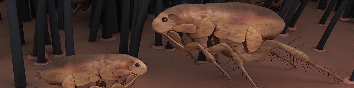 flea-gippsland-pest-control