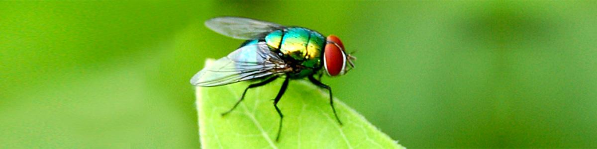 fly-gippsland-pest-control