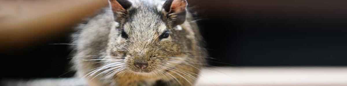 rodent-gippsland-pest-control