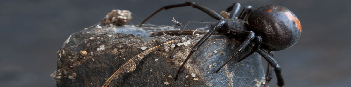 spider-gippsland-pest-control