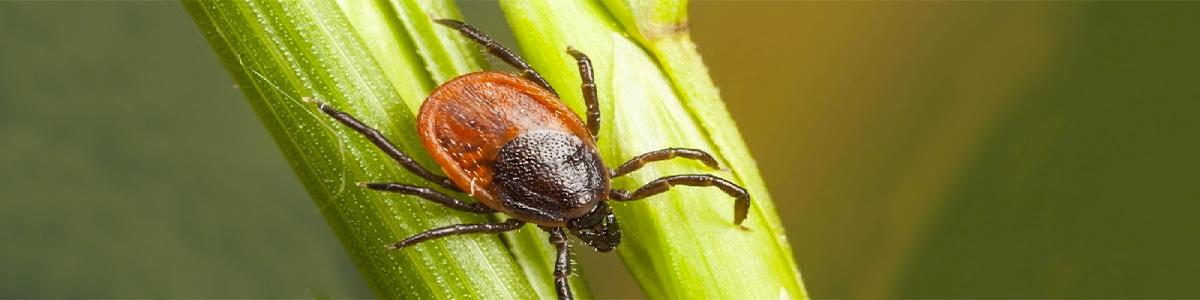 tick-gippsland-pest-control