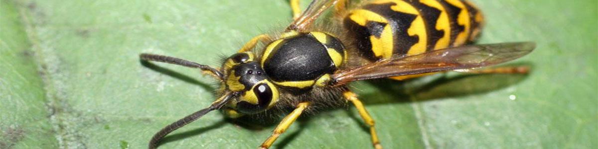 wasp-gippsland-pest-control